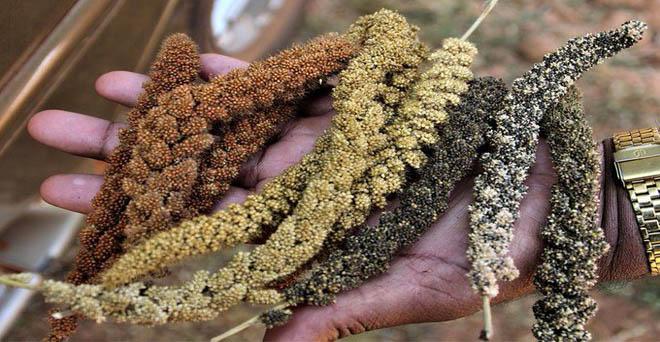 ओडिशा के केरेंदीगुडा गांव में दो किसान अपनी जमीन पर किसी भी रासायनिक खाद या कीटनाशक का उपयोग नहीं करते हैं, और पारंपरिक खेती के तरीकों से फसलों का उत्पादन करते हैं