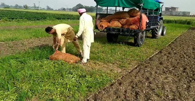 कोरोना वायरस का असर : मटर की फसल के खोत को जोतने पर मजबूर किसान