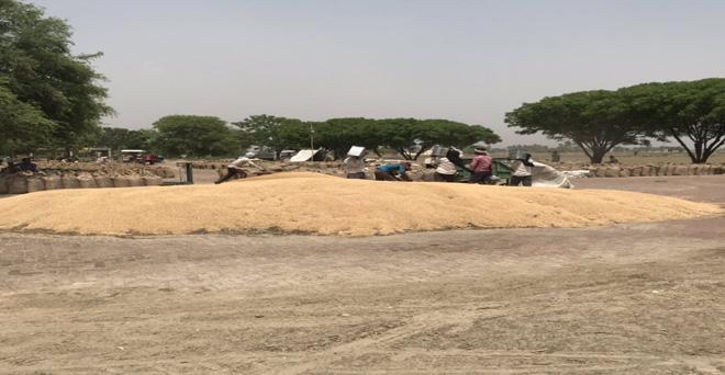 पंजाब की बठिंडा मंडी में जगह नहीं होने के कारण किसान खेतों में खुले आसमान के नीचे डालने पर मजबूर