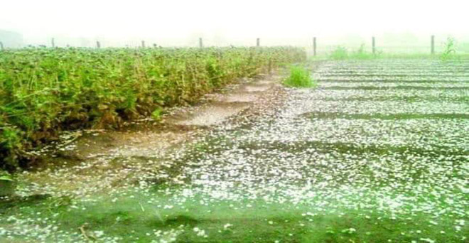 सात फरवरी को हुई भारी ओलावृष्टि से किसानों को भारी आर्थिक नुकसान हुआ