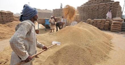 गेहूं की सरकारी खरीद 63 फीसदी पिछड़ी, 70.10 लाख टन की हुई है खरीद