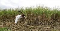 गन्ना किसान मुश्किल में, मिलों पर बकाया रिकार्ड 20,000 करोड़ पहुंचने का अनुमान