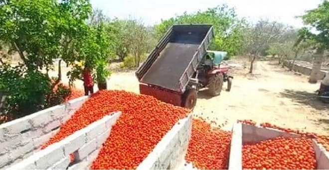 लॉकडाउन के कारण आंध्रप्रदेश के किसान टमाटर की फसल को फैकने पर मजबूर हैं, क्योंकि खरीददार नहीं आ रहे हैं।