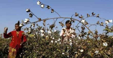 डॉलर की मजबूती से कपास में निर्यात मांग अच्छी, उत्तर भारत में बुवाई घटने की आशंका