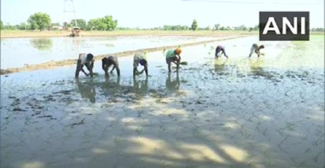 पंजाब के अमृतसर में किसानों ने धान की रोपाई तो शुरू कर दी है लेकिन मजदूर नहीं मिल रहे। किसान सतनाम सिंह ने बताया कि प्रवासी मजदूर अपने गांव चले गए हैं, तथा स्थानीय मजदूर ज्यादा पैसे मांग रहे हैं