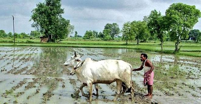 किसानों ने देश की लाखों हेक्टेयर बंजर ज़मीन में हरियाली ला दी। जितने पेड़ सरकारों ने नहीं लगाए, उससे ज्यादा किसानों के खेतों में खड़े हैं। किसी ने किसान को धन्यवाद तक नहीं बोला?  हां किसान की पराली जलाना सबको दिख रहा है लेकिन हरियाली फैलाना किसी को नहीं द
