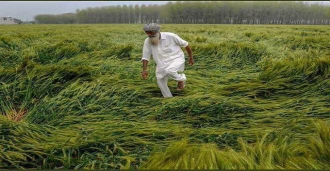 बारिश,ओले-तूफ़ान! रोना आ रहा है। खेती/किसानों के लिए ऐसा मौसम आफत है। गेहूं की फसल तो गई!!