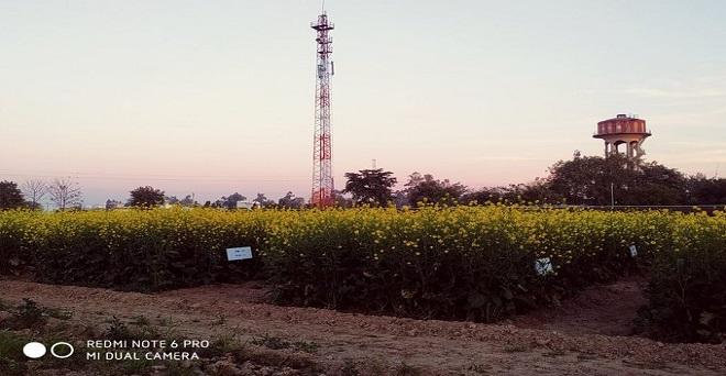राजस्थान के भरतपुर में आईसीएआर के शोध संस्थान में सरसों की फसल पर फूल आ चुके हैं, तथा अभी तक के मौसम को देखते हुए प्रति हेक्टेयर उत्पादकता ज्यादा आने का अनुमान