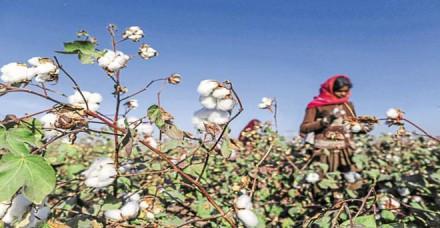 विश्व बाजार में भारतीय कपास सबसे सस्ती, निर्यात बढ़ने का अनुमान