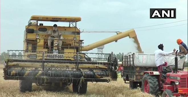 लुधियाना में लॉकडाउन के बीच गेहूं की फसल की कंबाईन से कटाई करते किसान