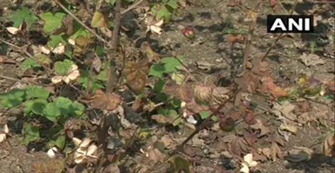 कपास की फसल को बेमौसम बारिश और बाढ़ से महाराष्ट्र में कपास की फसल को भारी नुकसान हुआ है, जिससे किसानों को भारी घाटा हुआ है