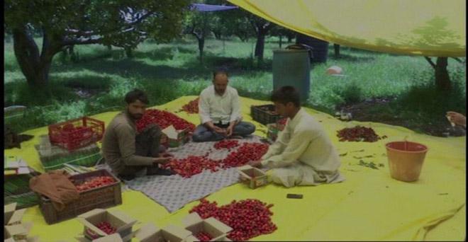 कश्मीर के किसान चेरी की फसल की छंटाई करते हुए, कश्मीर में इस मौसम में चेरी की नई फसल की आवक होती है।
