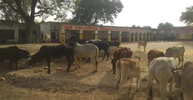 आगरा ग्रामीण विधानसभा क्षेत्र के गांव जारुआ कटरा में फसलों के नुकसान से परेशान  किसानों ने आवारा पशुओं को सरकारी स्कूल के प्रांगण में रोक दिया।