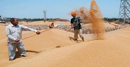 केंद्र का गेहूं के आयात शुल्क में बढ़ोतरी का प्रस्ताव नहीं, भाव में गिरावट की आशंका