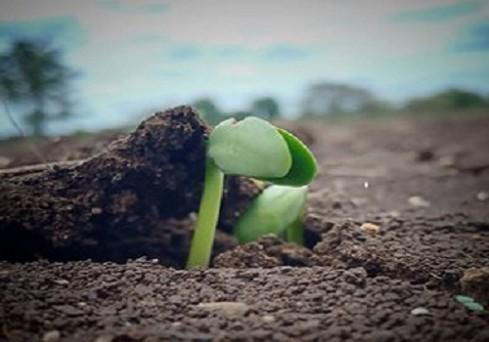 मध्यप्रदेश में सोयाबीन की फसल अंकुरित होते हुए, राज्य में मानसून का आगमन हो चुका है जिस कारण सोयाबीन की बुआई जोरो पर है