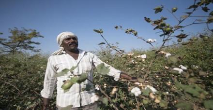 नई फसल की आवक बनने से पहले ही विदेश में कपास के भाव 6 सेंट घटे, किसानों को होगा घाटा