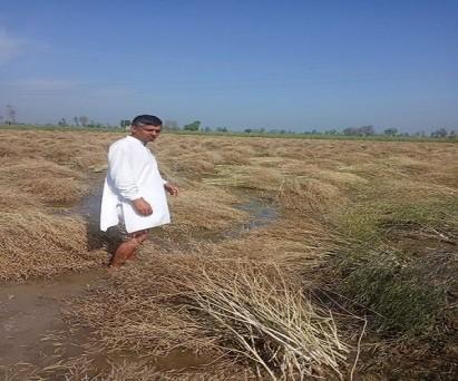 बेमौसम बारिश ने किसानों की कमर तोड़ दी, सरसों की फसल की कटाई के बाद हुई बारिश से खेत में पानी भर गया। जिसका असर उत्पादन और उत्पादकता पर पड़ेगा।