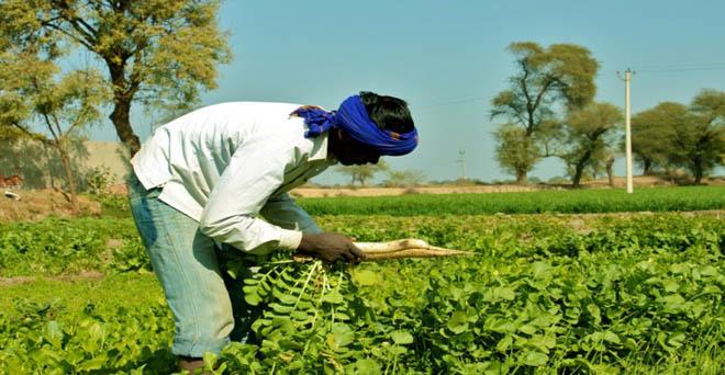 मंडी में बेचने के लिए, जाने से पहले किसान अपने खेत से मूली को उखाड़ता हुआ