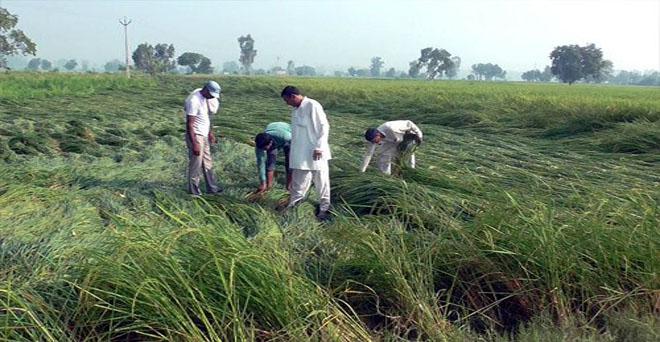 धान किसानों पर दोहरी मार, पहले बारिश नहीं हुई और अब कटाई के समय बेमौसम बारिश और तेज हवा से धान की फसल को हुआ नुकसान। हरियाणा के बहादुगढ़ के बामनोली गांव में धान की गिरी हुई फसल को देखते किसान