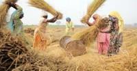 बेमौसम बारिश से उत्तर भारत में धान की फसल को नुकसान की आशंका