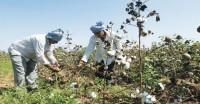 गुजरात : कई जिलों में सूखे जैसे हालात, कपास और मूंगफली उत्पादन में भारी कमी