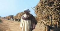 कोल्हू संचालक कम खरीद रहे हैं गन्ना, किसान एसएपी से 140 रुपये नीचे बेचने पर मजबूर