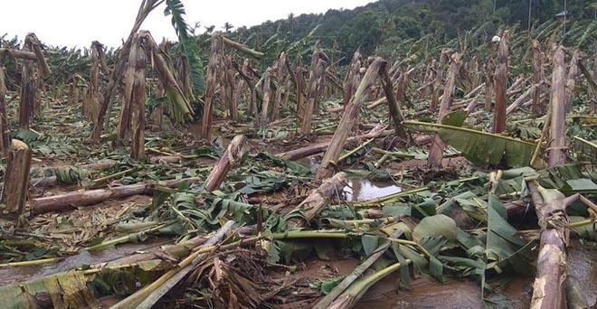 केरल में भारी बारिश और बाढ़ से केले के किसान अशोकन के करीब 1,000 पेड़ नष्ट हो गए
