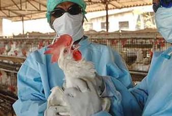 बर्ड फ्लू का प्रकोप: आपको चिकन, अंडे खाने चाहिए? जानें क्या कहतें है विशेषज्ञ
