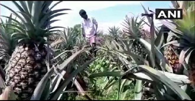 पश्चिम बंगाल के सिलीगुड़ी में अनानास के किसानों का कहना है कि लॉकडाउन के कारण हम बाहर फसल बेचने जा नहीं पा रहे हैं जबकि खरीदने वाला कोई आ नहीं रहा, इसलिए हमें भारी घाटा हो रहा है।