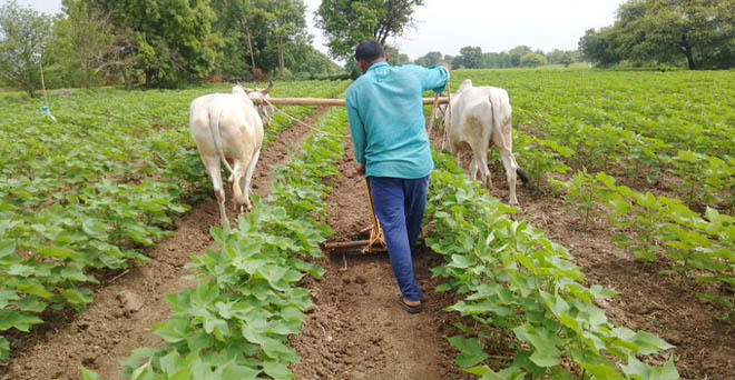 कपास की फसल में महाराष्ट्र का किसान पौधों के बीच से मिट्टी को हटाकर पौधों के पास लगाता हुआ, इससे अधिक बारिश में अतिरिक्त पानी निकलाने में मदद मिलेगी, जिससे उत्पादन बढ़ेगा