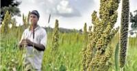 महाराष्ट्र: मोटे अनाजों के साथ दालों का उत्पादन घटने का अनुमान, तिलहन का बढ़ेगा
