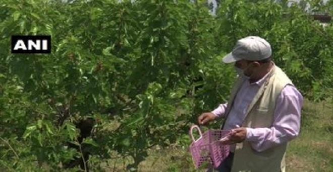 जम्मू एवं कश्मीर के श्रीनगर में शहतूत के किसानों का कहना है कि इस साल बारिश और जैविक खाद के कारण उत्पादन ज्यादा हुआ