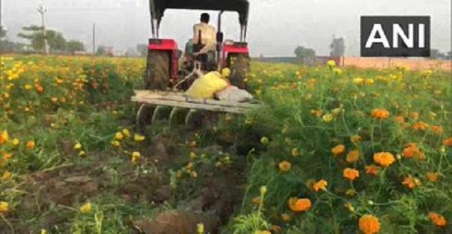 मेरठ के फूल किसान महिपाल सिंह के अनुसार देशभर में चल रहे लॉकडाउन के कारण फूलों की बिक्री नहीं हो पा रही है इसलिए फसल को नष्ट करने के अलावा उनके पास कोई चारा नहीं बचा है।