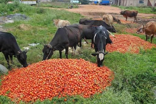 भारी बारिश और बाढ़ से खराब हुए टमाटर को कर्नाटक के चिमागालुर के किसान फैकने को मजबूर, दिल्ली समेत कई महानगरों में कीमतें आसमान पर